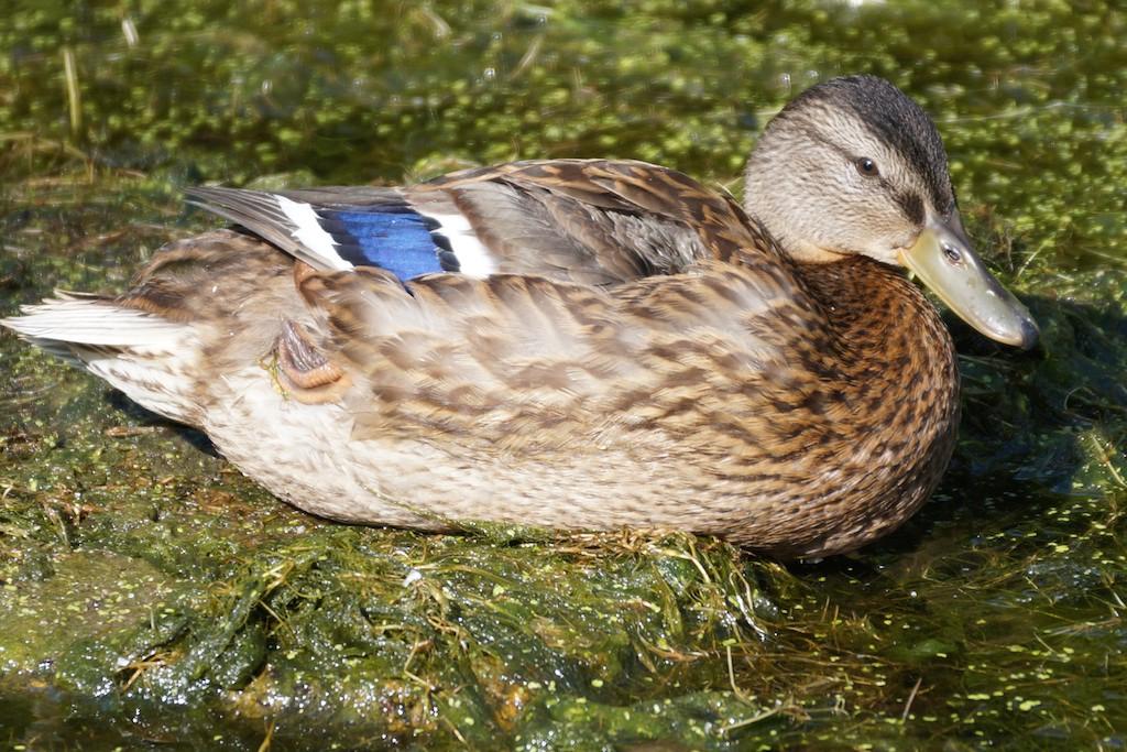Sars Duck